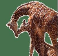 aze girafe