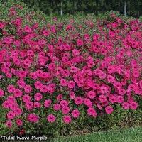 Pink Petunias flowers jpg
