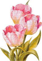 pink tulips spring flowers tulipes fleur printemps