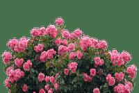 kukka, ruusu, rose