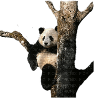 Kaz_Creations Animals Pandas Panda