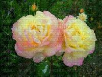 fond roses jaunes & rose