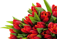Fleur.Tulipes.Tulips.Deco.Red.Printemps.Spring.Victoriabea