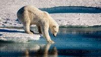 polar bear bp