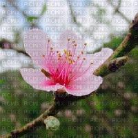 hồng phai