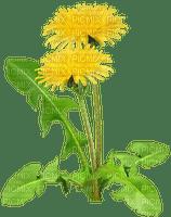 pissenlit dandelion fleur printemps