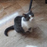 cat perla gatto - laurachan