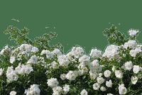 kukka, ruusu