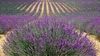 lavender, laventeli, maisema, landscape