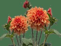 orange flowers, chrysanthemum, sunshine3
