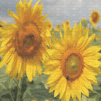 sunflowers bg transparent tournesol fond