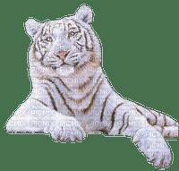 white tiger blanc tigre🐯🐯
