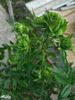 belle rose verte