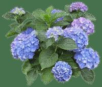 Fleurs.Hortensias.Hidrangeas.Flowers.Victoriabea