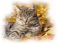 cat in autumn leaves chat automne feuilles
