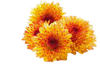 FLEUR-FLOWER_fleurs -chrysanthemum_yellow_jaune-tube-decoration-deco_autumn_automne_Blue DREAM 70