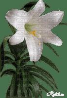 fleur-flower_fleurs-tube-lis-lily-decoration-white-blanc-image_Blue DREAM 70