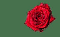 ruusu, rose, kukka, fleur, flower