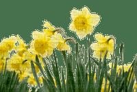 daffodil spring flowers border  printemps fleurs