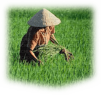 paddy field woman