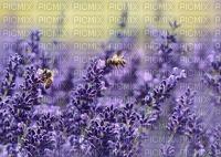 lavender, laventeri