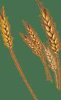 grain corn wheat