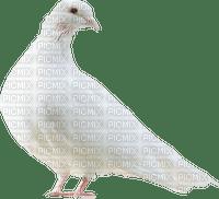 dove white pigeon🕊🕊
