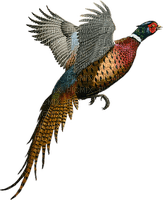 ptak  bird bażant pheasant