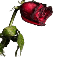 munot - rose blume - rose flower - rose fleur