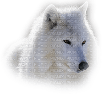 Wolf.Loup.Lobo.White.blanc.Victoriabea