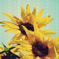 Sonnenblumen tournesols sunflowers