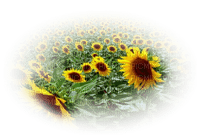 sunflower field champ de tournesol paysage