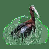 ptak ibis
