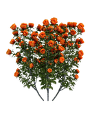 orange flowers, roses, bush