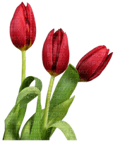 tulips flowers spring