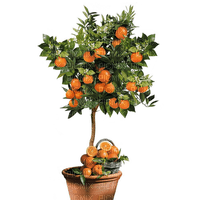 orange plant summer ete tube pot garden jardin fruit oranger tree arbre baum plante pflanze