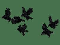 Oiseaux noirs black birds bird oiseau noir