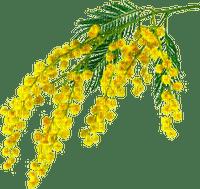 mimosa 1 FLEUR JAUNE SHEENA