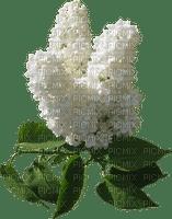 spring printemps frühling primavera весна wiosna flower fleur blossom bloom blüte fleurs blumen branch lilac deco tube blanc