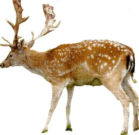 Hirsch cerf deer