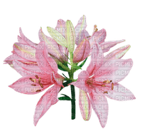 fleur-flower_fleurs-tube-lis-lily-decoration-pink-rose-image_Blue DREAM 70