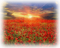 poppy field landscape
