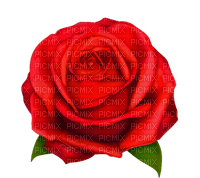 Rose rouge