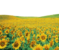 Kaz_Creations Sunflowers