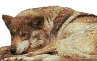 az s34 loup  wolf animaux animaux