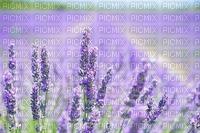 landscape, maisema, lavender, laventeli