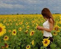 Sonnenblumen, tournesols, sunflowers
