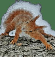 squirrel écureuil winter hiver snow forest