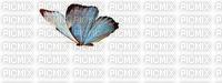 Papillon **
