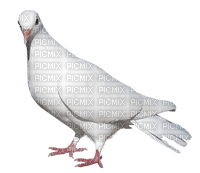 Colombe.Pigeon.Victoriabea